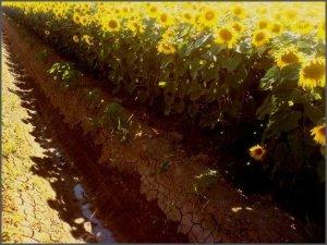 sunflowers_nofilter